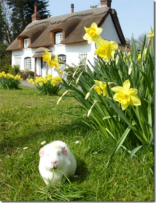 Fairy and the daffs front of cottage (16)