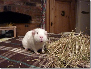Fairy eats her way out the hay (2)