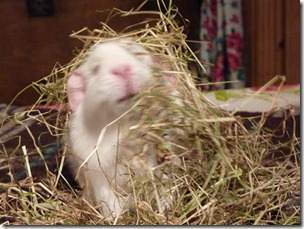 Fairy eats her way out the hay (3)