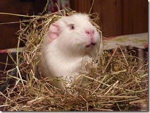 Fairy eats her way out the hay (4)