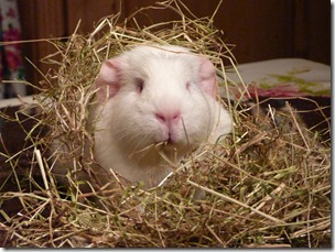 Fairy eats her way out the hay (5)