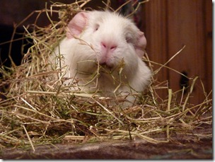 Fairy eats her way out the hay (8)