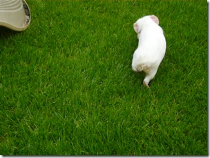 Piggies on the lawn, briefly (7)