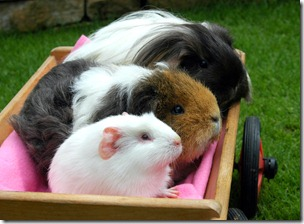 Piggies riding in their cart! 020809 ADJ (2)
