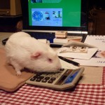 Fairy Supports Guinea Pig Rescue Charities.