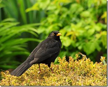 Garden blackbird110510 (4)