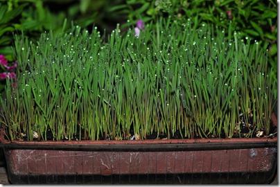 Fairy grass close ups (7)
